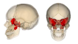 Sphenoid_bone[1].png